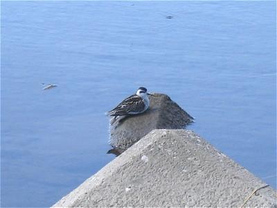 遠い北国からやってきた小鳥_c0091679_16362212.jpg