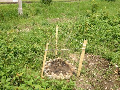 木を植えてみた_c0091679_1216531.jpg
